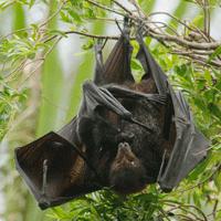 Black flying-fox (Pteropus Alecto)