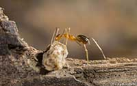 Yellow Crazy Ants - © Jürgen Freund