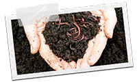 Worms compost